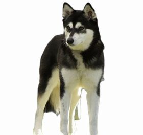 Alaskan Klee Kai Breed