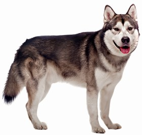 Alaskan Malamute Breed
