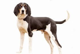 American English Coonhound Breed