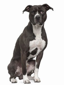 American Pit Bull Terrier Breed