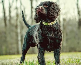 American Water Spaniel Breed