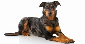 Beauceron Breed