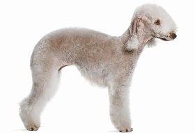 Bedlington Terrier Breed