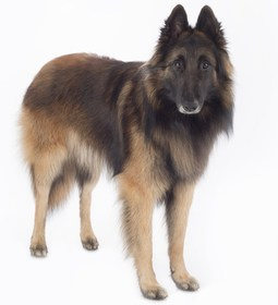 Belgian Tervuren Breed