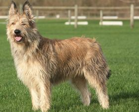 Berger Picard Breed