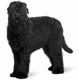 Black Russian Terrier Breed