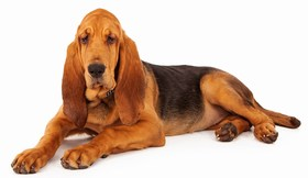 Bloodhound Breed