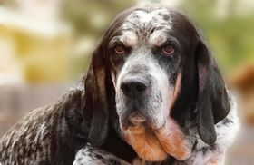 Bluetick Coonhound Breed