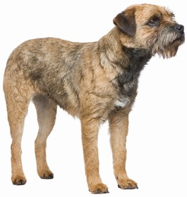 Border Terrier Breed