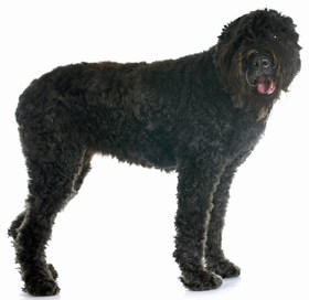 Bouvier des Flandres Breed