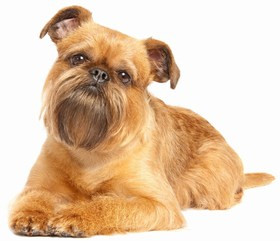 Brussels Griffon Breed