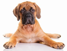 Bullmastiff Breed