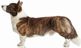 Cardigan Welsh Corgi Breed