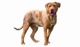 Catahoula Bulldog Breed