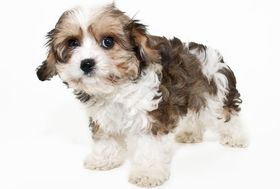 Cavachon Breed
