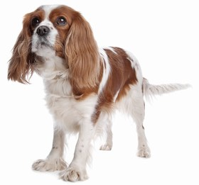 Cavalier King Charles Spaniel Breed