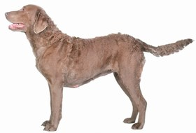 Chesapeake Bay Retriever Breed