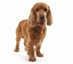 Cocker Spaniel Breed