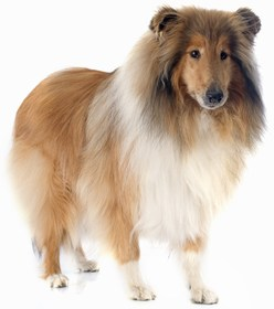 Collie Breed