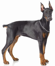 Doberman Pinscher Breed