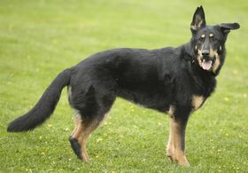 Doberman Shepherd Breed
