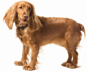 English Cocker Spaniel Breed