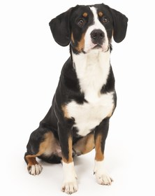 Entlebucher Mountain Dog Breed