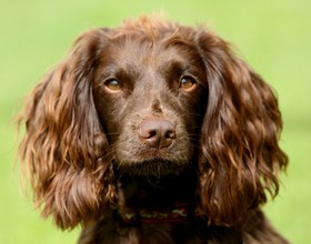 Field Spaniel Breed