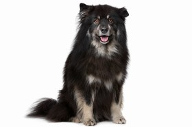 Finnish Lapphund Breed
