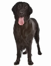 Flat-Coated Retriever Breed