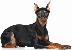 German Pinscher Breed