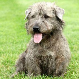 Glen of Imaal Terrier Breed