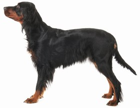 Gordon Setter Breed
