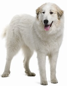 Great Pyrenees Breed