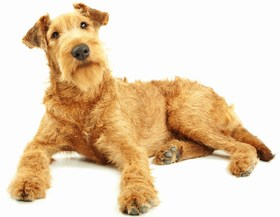 Irish Terrier Breed