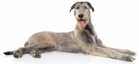 Irish Wolfhound Breed