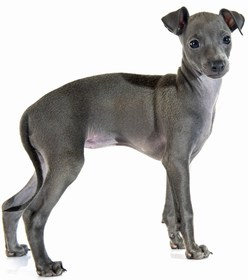 Italian Greyhound Breed