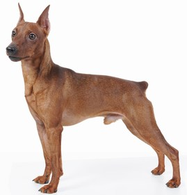 Miniature Pinscher Breed