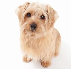 Norfolk Terrier Breed