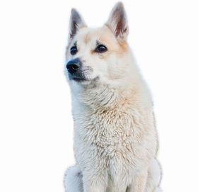 Norwegian Buhund Breed
