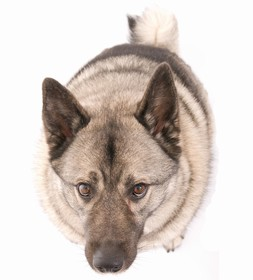 Norwegian Elkhound Breed
