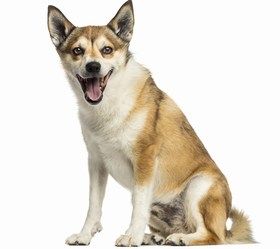 Norwegian Lundehund Breed