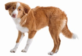 Nova Scotia Duck Tolling Retriever Breed