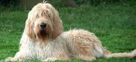 Otterhound Breed