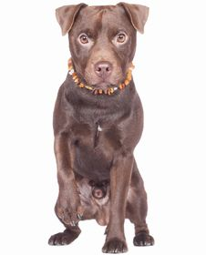 Patterdale Terrier Breed