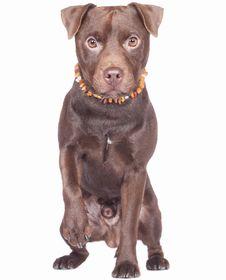 Patterdale Terrier Breed