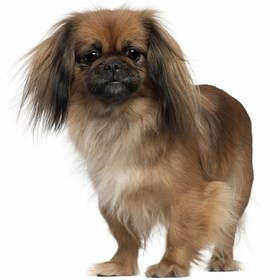 Pekingese Breed