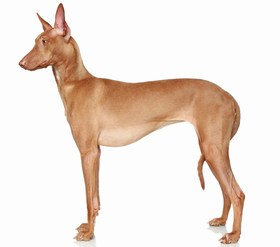 Pharaoh Hound Breed