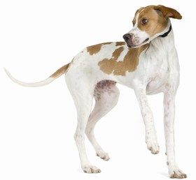Pointer Breed