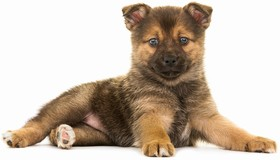 Pomsky Breed